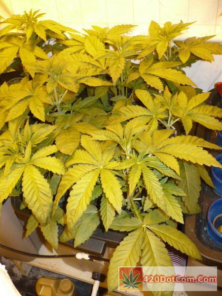 HA OG 3-15 - Nice Biker Kush plants