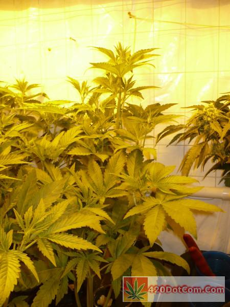 HAOG/Biker Kush at end of week 3 in flower-tallest girl sticking her head up