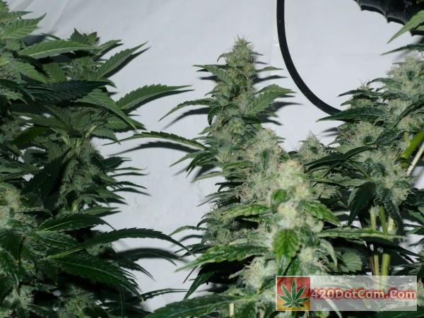 Biker Kush Bud Shots with nice stacking. Real beauties these are