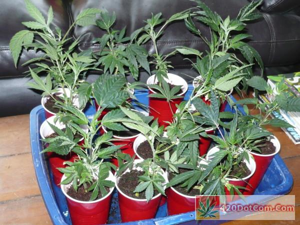 biker kush clones ready for planting