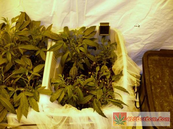 first tote Biker Kush 8 left and 10 right
