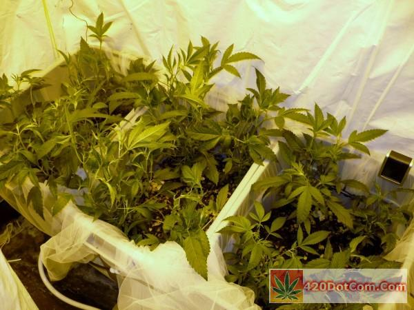 Biker Kush Week 1 Of Flower fan leaf removal