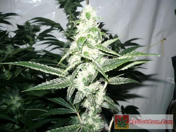Biker Kush Lights Off - Taken On Day 35 - Plant#10