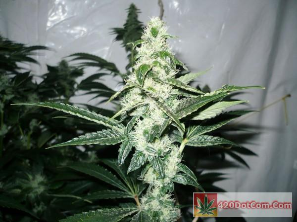 Biker Kush Lights Off - Taken On Day 35 - Plant#10 Again