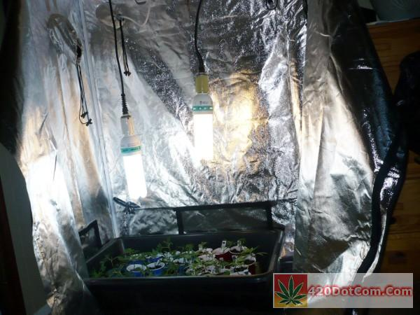 young clones inside my aviditi grow tent