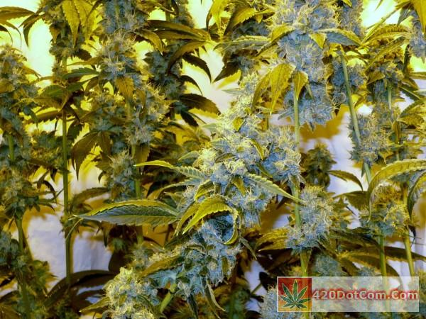 frost pocket- sticky and smelling great