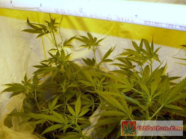 Sannies Seeds - Sugar Punch Grow In Recirculating Coco