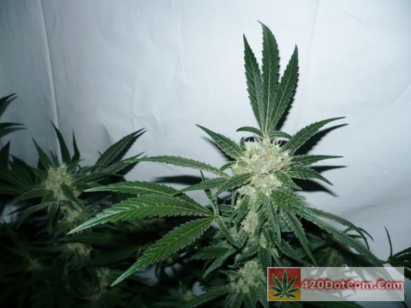 Cindy 99 8-22-15 This girl looks awesome and pistils are turning red orange on her