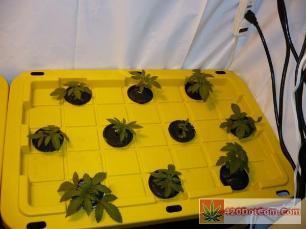 young white og seedlings in aeroponics