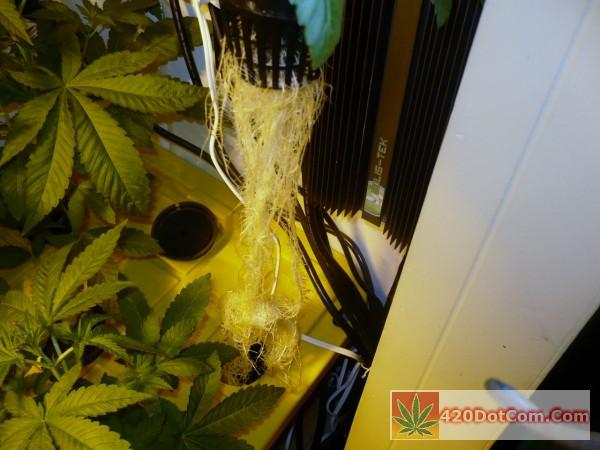 some aeroponic roots on a White OG