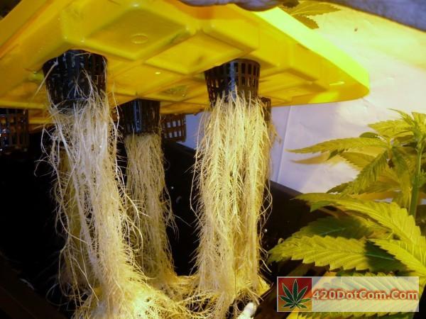 nice aeroponic roots