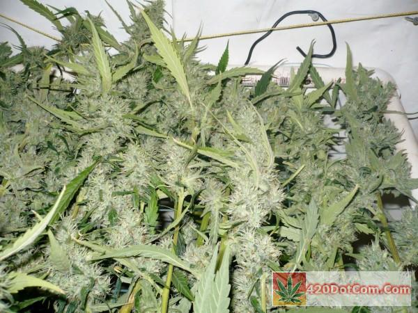 Sugar Punch Harvest 4 bud close ups