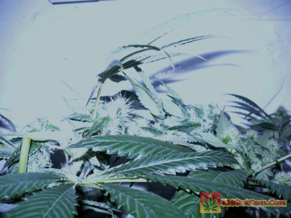 Karmarado OG Day 35 Another super crop