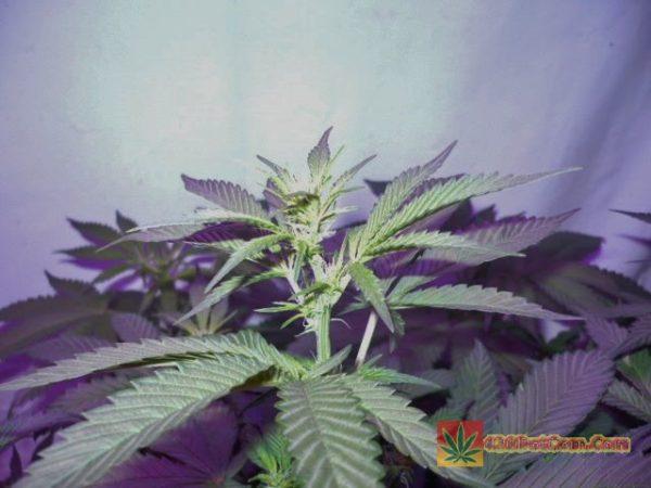 P600 LED girls week 4 developing buds