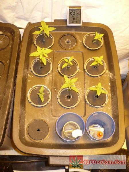Sugar Punch Seedlings 12 days