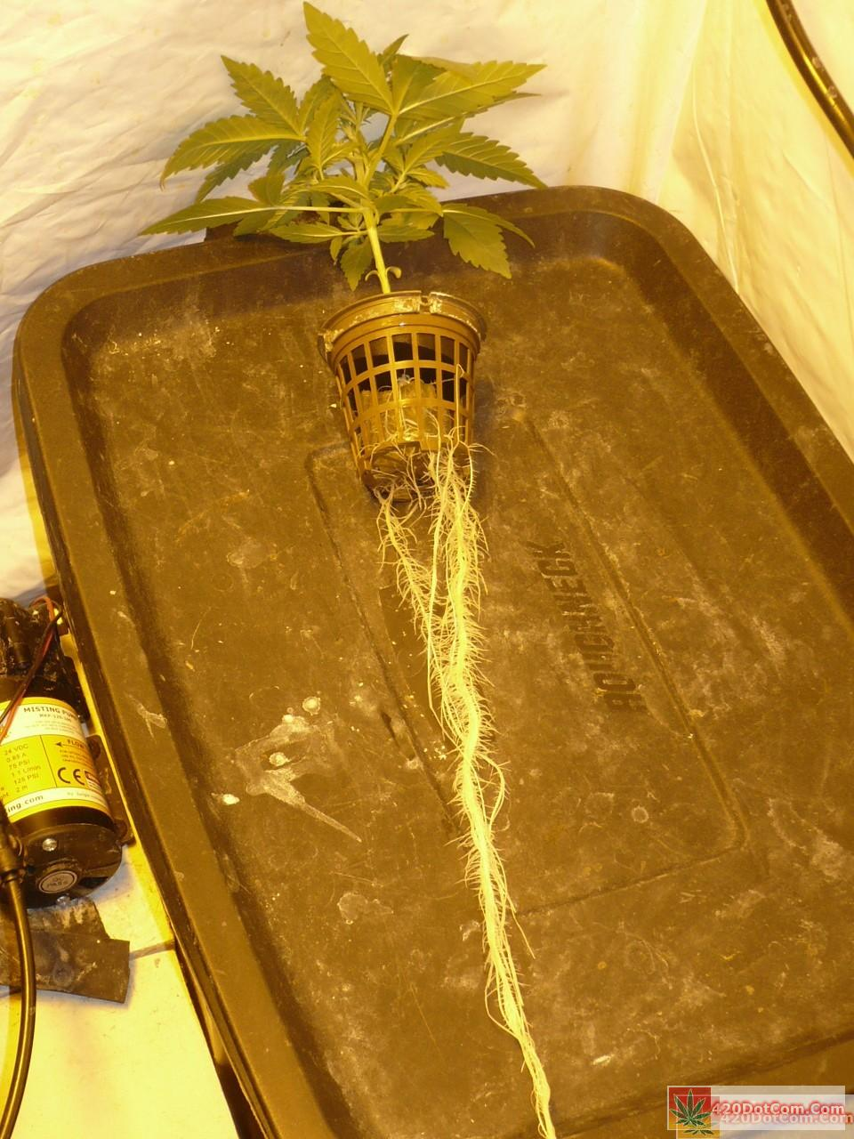 Sugar Punch showing aeroponic roots