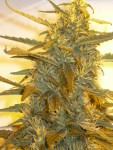 Sannies Seeds Sugar Punch Grow In Recirculating Coco
