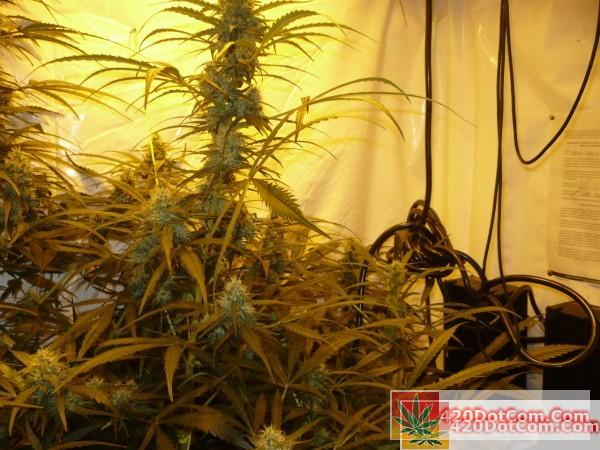 Sugar Punch 11-1 middle grow room shot