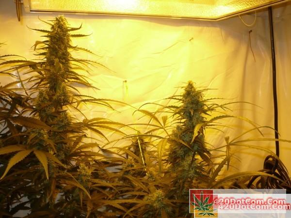 Sugar Punch 11-1 very nice lower branches