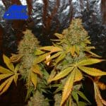 Triangle Kush Cross The Truth New Millennium Nutrients Grow Journal