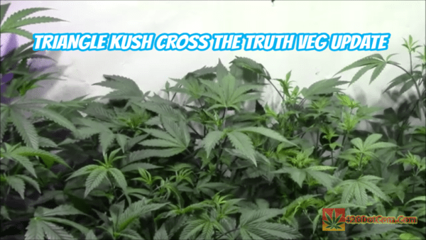 Triangle Kush Cross The Truth Veg Update