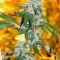 chemdawg d classic marijuana strain