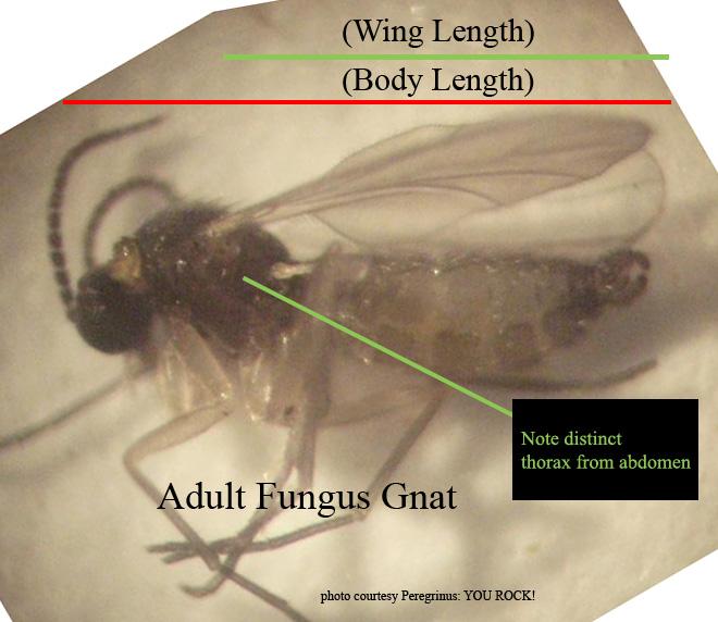 Adult fungus gnat