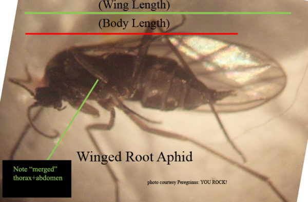 winged root aphid - how to get rid of root aphids